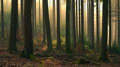 Fog in the woods (Netsrak) Tags: trees light sun sunlight mist tree nature sunshine fog forest germany landscape outside deutschland licht spring woods nebel outdoor natur eifel april nrw landschaft sonne wald bume baum nordrheinwestfalen rheinland frhling sonnenschein sonnenlicht