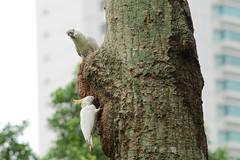 Wild cockatoos in the park (dakw23) Tags: tree zeiss pair cockatoo za nesting hongkongpark 135mm cockatoos sonnar laea3