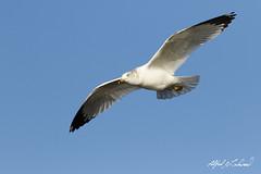 Ring-billed Gull (Alfred J. Lockwood Photography) Tags: winter bird nature texas afternoon gull flight whiterocklake ringbilledgull alfredjlockwood