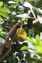 IMG_2281 (Mercar) Tags: canada garden botanical montreal jardin greenhouse botanic jackfruit botaanikaaed qubeck