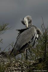 _DSC0491 (chris30300) Tags: france heron de pont parc oiseau camargue gau saintesmariesdelamer flamant provencealpesctedazur ornithologique