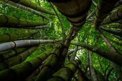 Twisting timbers (yoskinomura) Tags: green forest grove guatemala bamboo trunks twisting