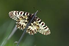 D71_5981A (vkalivoda) Tags: macro nature butterfly insect bokeh depthoffield serene makro schmetterling proda motl southernfestoon zerynthiapolyxena osterluzeifalter pestrokdlecpodracov pestrokdlec pestrovlkovcovov medlneckkopce