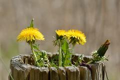 """Blumentopf"" (Caora) Tags: balticsea april rgen ostsee ruegen"