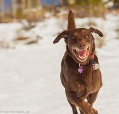 Big Smile (KB RRR) Tags: dog snow colorado rockymountains frontrange whitestuff chocolatelabrador shyla
