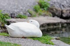 Afternoon Nap (kevnkc2) Tags: park county duck spring pond nikon pennsylvania contemporary ducks sigma cumberland lightroom shippensburg d610 stdntsdoncooper 150600mm 150600f563