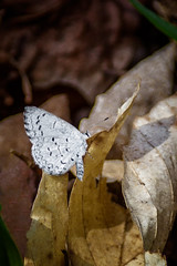 White-Blue (Portraying Life) Tags: blue butterfly spring unitedstates michigan