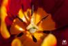 Yellow & Red (andrea.prave) Tags: flowers red flower rot fleur yellow jaune rouge rojo flor amarillo gelb giallo tulip polen pollen 花 blume fiore rosso tulipe tulpe tulipano красный زهرة 花粉 tulipán 红 黄色 郁金香 チューリップ 赤 желтый pistils polline цветок extensiontubes 黄 pistilos pistilli тюльпан أحمر أصفر пыльца 雌蕊 雌しべ لقاح الخزامينبات пестики المدقات