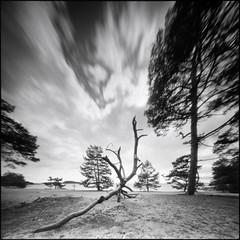 Bjrn (Hasse Linden) Tags: sky tree 6x6 film beach analog mediumformat landscape pinhole hp5 pinholecamera rodinal ilford realitysosubtle6x6 rss6x6