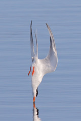 Impact (bmse) Tags: canon dive impact l f56 tern salah bolsachica 400mm divin forsters wingsinmotion 7d2 bmse baazizi