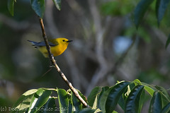 Male Prothonotary Warbler (dbifulco) Tags: cruise bird nature florida wildlife ocala silverriver prothonatorywarbler bobb2016