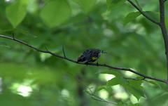 Yellow_rumped Warbler (Kern Freesland) Tags: cardinal birdsnest northerncardinal