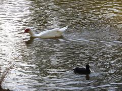Werrington Creek 2 (tessab101) Tags: lake water birds creek nsw waterfowl region coot penrith werrington