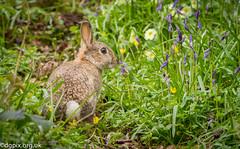 Rabbit (Danny Gibson) Tags: blue rabbit bunny bluebells rabbits