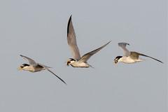 Tern: In Flight Snack (Don Burkett) Tags: nature birds animal fauna canon florida outdoor wildlife southflorida dlsr wakodahatcheewetlands donburkett canon7dmkii 100400mii ef100400f4556liiusm dtburkett