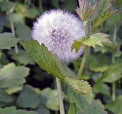 Pusteblume (borntobewild1946) Tags: flower blossom nrw blume blte nordrheinwestfalen rheinland niederrhein lwenzahn pusteblume copyrightbyberndloosborntobewild1946 lwenzahnpusteblumeeinepflanzezweigesichter