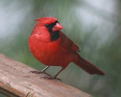 Male Cardinal on the Deck (hbickel) Tags: red bird canon backyard cardinal pad deck photoaday malecardinal canont6i