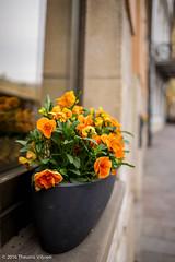 Orange Sunday - II (Theunis Viljoen LRPS) Tags: flowers orange poland krakow pansies windowbox ulstolarska