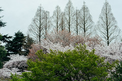 Layers () Tags: japan tokyo cherryblossom  sakura   hanami shinjukugyoen   sonya7 zeissbatis85mmf18