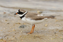Common Ringed Plover - Charadrius hiaticula (Roger Wasley) Tags: portugal birds europe european algarve migration riaformosa olhao naturalpark commonringedplover ringedplover charadriushiaticula migrate