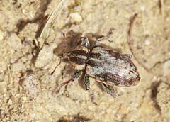 Weevil - Hypera plantaginis (Prank F) Tags: macro nature closeup insect wildlife beetle weevil wildlifetrust twywellhillsdales northantsuk hyperaplantaginis