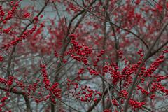 Winter Berries in Central Park (frankiefotocpa) Tags: park city newyorkcity urban newyork nature colors beautiful photography nikon berries centralpark capture urbanphotography naturephotography centralparknyc nikonphotography newyorkphotography nycphotography parkphotography centralparkphotography affinityphoto