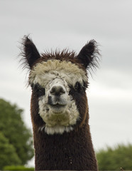 14/365 Wot are you lookin' at? (chestnutgrey) Tags: alpaca canon january alpacas wicket 2016 project365 550d 365project project366 142016 canon550d canoneos550d 201614 chestnutgrey sarahoettli 2016365 january2016 3652016 365the2016edition 14january2016