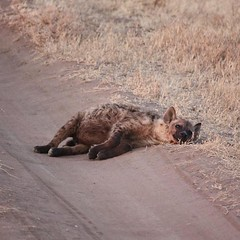 It's OK to take a day off now and then Mr. Hyena. Go on--treat yourself. #Africa #Tanzania #safari #travel #nature #animal #wildlife #animallovers