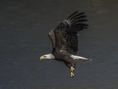 Eagle With Fish Snack (Odonata457) Tags: county lake fish unitedstates eagle wilde howard bald maryland columbia haliaeetusleucocephalus