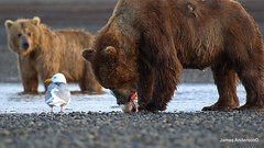 Bummer! (JA Photography - Be There, Out There) Tags: usa salmon brownbear grizzlybear katmainationalpark alalsks