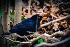 Merletto (Luca Braido) Tags: winter bird inverno calma freddo bosco merlo uccello