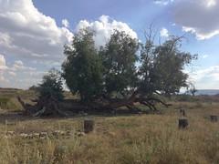 fallen tree atop Thaba Bosiu (kathleenbarber) Tags: africa travel lesotho maseru thababosiu