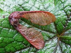 Acer macrophyllum, BIG-LEAF MAPLE samara (openspacer) Tags: maple seed acer jrbp sapindaceae jasperridgebiologicalpreserve