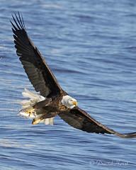 Eagle_M0A6054 (david.horst.7) Tags: eagle raptor americanbaldeagle ld14
