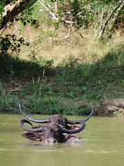 Yala - Swimming Duo (Drriss & Marrionn) Tags: travel lake water animal animals forest mammal buffalo asia outdoor wildlife wetlands srilanka ceylon uva bovidae mammals grasslands mammalia southasia yalanationalpark bubalusbubalis monsoonforest uvaprovince cetartiodactyla