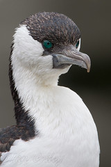 Black-faced Cormorant - Phalacrocorax fuscescens (Ian Colley Photography) Tags: portrait tasmania hobart blackfacedcormorant phalacrocoraxfuscescens