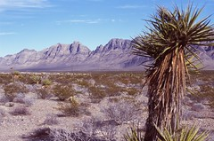 Yucca Tree (Great Beyond) Tags: 50mm desert nevada slide roadtrip slidefilm 35mmfilm americana fujifilm roadside slides e6 3000v canonrebelti offtheinterstate canonef50mmf14usm fujiprovia100f fujichromeprovia100f roadgeek canoneosrebelti colorreversal yuccatree openroads ontheopenroad canoneosrebel3000v