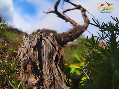 Grapevine trunk (deepskyblue86) Tags: sky italy plant green nature colors closeup clouds colorful italia fisheye trunk sicily etna sicilia grapevine etnatura samyang75mmf35umcfisheyemft