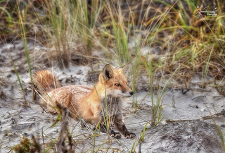 Red Fox in the Tall Grass