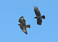 Battibecco Tra Cornacchia e Poiana (G.Sartori.510) Tags: crow buzzard cornacchia poiana pentaxk3 pentaxdasmc300mmf4edifsdm