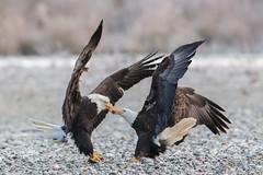 _X153888 (kevinle4230) Tags: food fish bird rock washington fight outdoor baldeagle beak raptor skagitriver