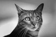Maya (gRom62) Tags: blackandwhite pets o gatti animalidomestici