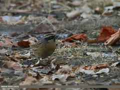 Black-throated Accentor (Prunella atrogularis) (gilgit2) Tags: pakistan birds fauna canon geotagged wings wildlife feathers sigma tags location species category avifauna gilgit prunellaatrogularis gilgitbaltistan sigma150500mmf563apodgoshsm imranshah canoneos70d jutial blackthroatedaccentorprunellaatrogularis gilgit2