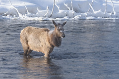 Elk in Madison River - Yellowstone N.P. (2016-02-01 4320) (bechtelsf) Tags: winter snow cold water animal nationalpark nikon frost crossing wildlife yellowstonenationalpark yellowstone wyoming elk madisonriver d810
