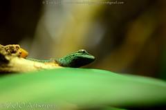 Azuurblauwe daggekko - Lygodactylus williamsi (m) - Turquoise Dwarf Gecko (MrTDiddy) Tags: zoo dwarf reptile turquoise m gecko antwerp blau dag blauwe antwerpen zooantwerpen gekko reptiel reptillian williamsi lygodactylus azuur daggekko azuurblauwe
