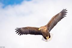 scanning for prey (Nedko Nedkov) Tags: winter white snow japan asia hokkaido eagle wildlife akan tailed
