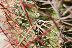 barrel cactus original
