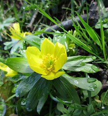 Winter Aconite (morey.kenneth) Tags: winter leaves yellow spring raindrops rosette aconite