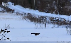 In Flight (Ahrem Pea Photography) Tags: winter snow cold bird 35mm outdoors nikon wv westvirginia nikkor jonas almostheaven d5200