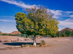 Green on Blue (Yuma, Arizona) (qbkingfilm) Tags: blue arizona sky color tree green film mediumformat 645 desert kodak 100 6x45 kodake100vs yuma mamiya645 asa100 80mm ekatchrome